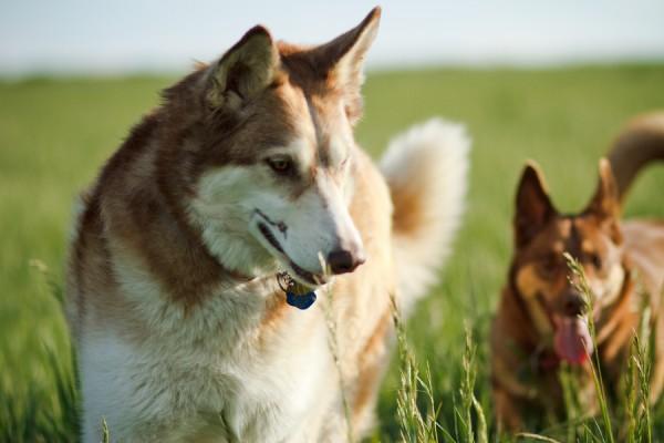Siberian-Husky-and-Kelpie