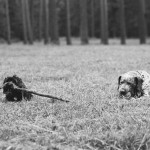 Yorkipoo-chewing-stick, German-shorthair-mix-with-ball