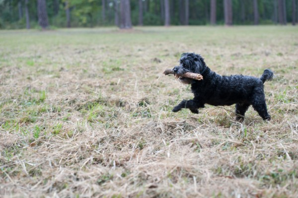 © M. Chase Narrative Photography, Yorkipoo-with-big-stick