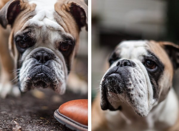 English-Bulldog-with-Southern-accent