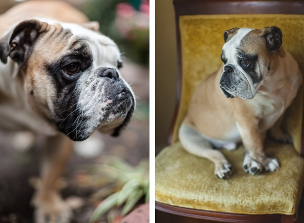 Savannah-GA-lifestyle-photography-English-Bulldog