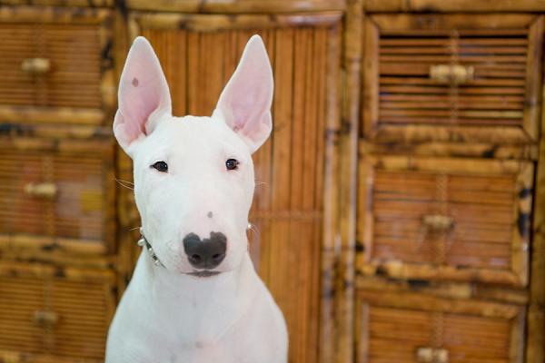 ©  Kathy Lui Photography, Bull-Terrier