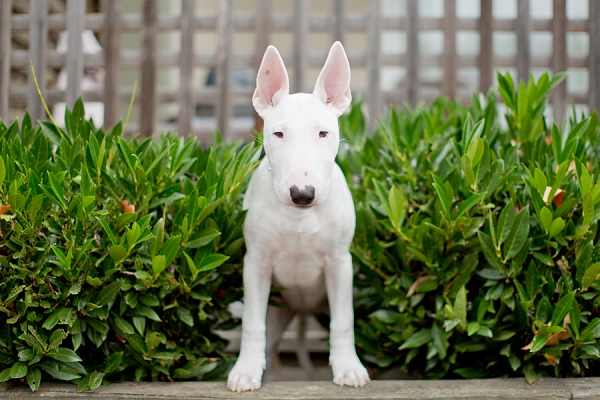 ©  Kathy Lui Photography, Bull Terrier puppy