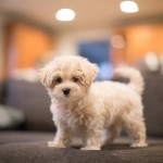 Poodle-Maltese-mix-puppy
