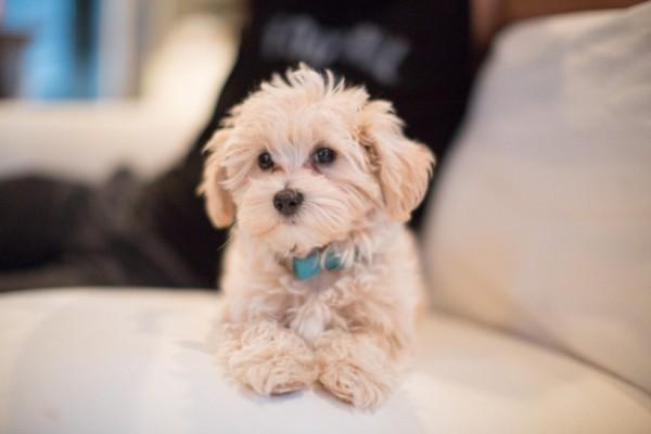 lifestyle-dog-photographer, maltipoo-puppy