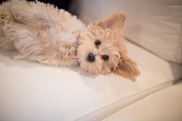 Maltese-apricot-poodle-puppy