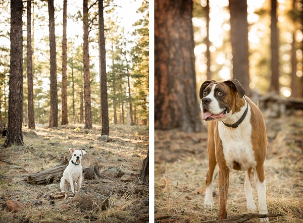 © Tangled Lilac Photography, Boxers-in-woods