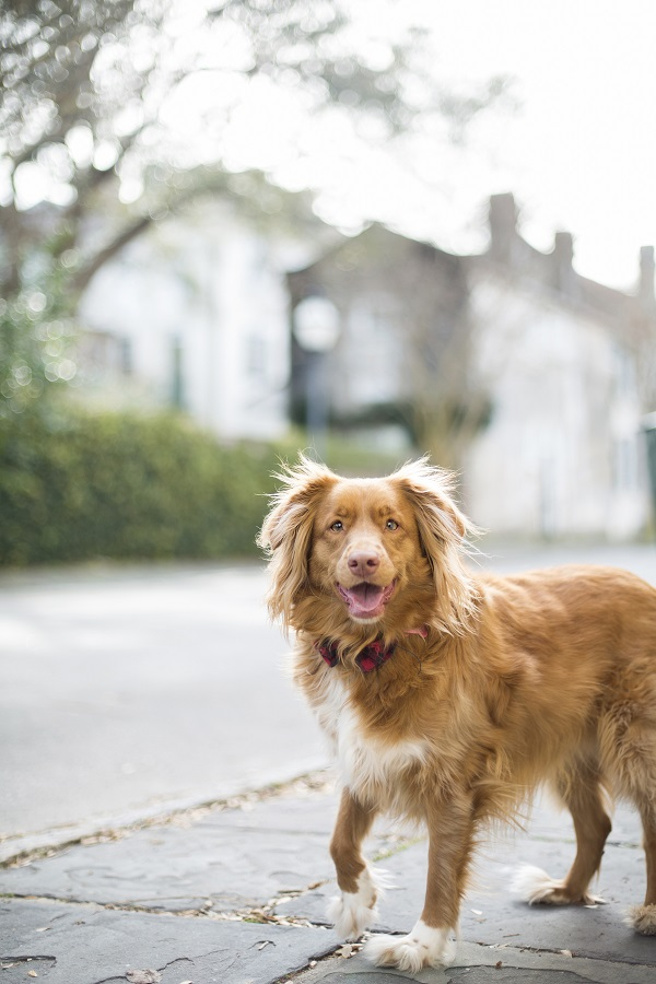 Nova-Scotia-Duck-Tolling-Retriever-historic-Charleston