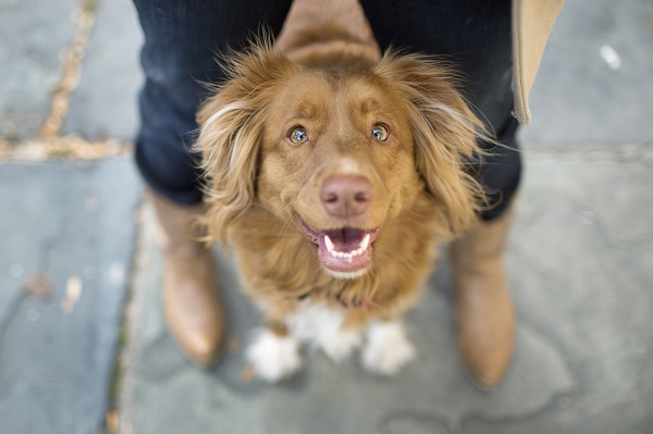 Happy Tails:  Lilian the Duck Tolling Retriever