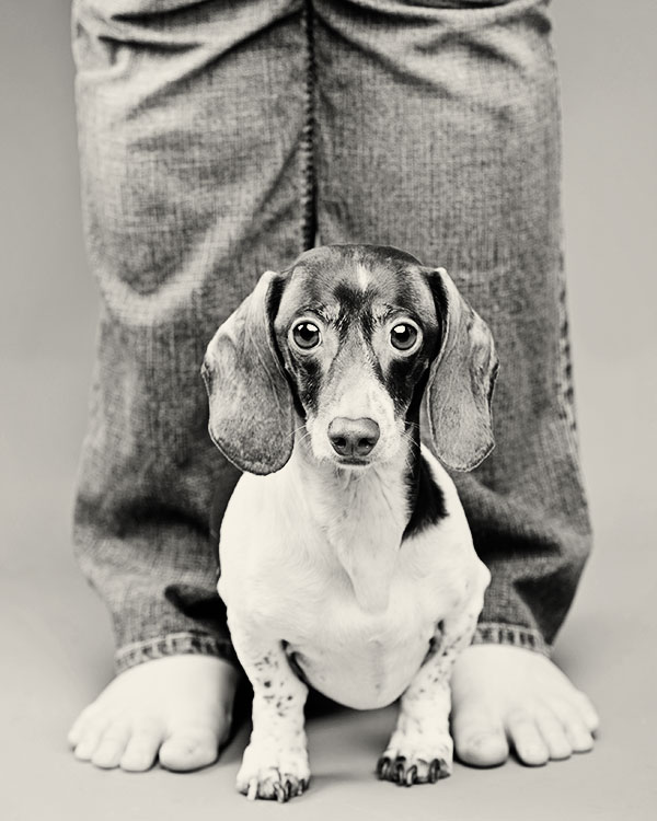 © Thomas Pitera Photography, Pie-bald-miniature-Dachshund, adorable-doxie