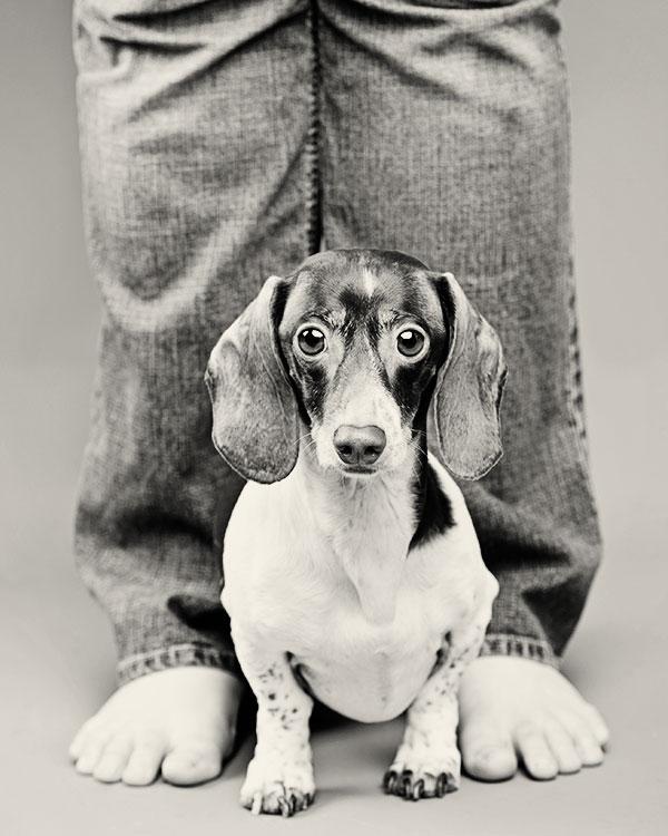 © Thomas Pitera Photography, Pie-bald-miniature-Dachshund, adorable-doxie