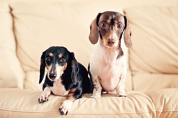 © Thomas Pitera Photography, miniature-Dachshunds
