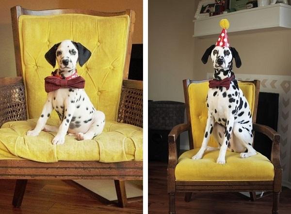 Dalmatian-puppy-wearing-a-bowtie, Dalmatian-wearing-tie-party-hat