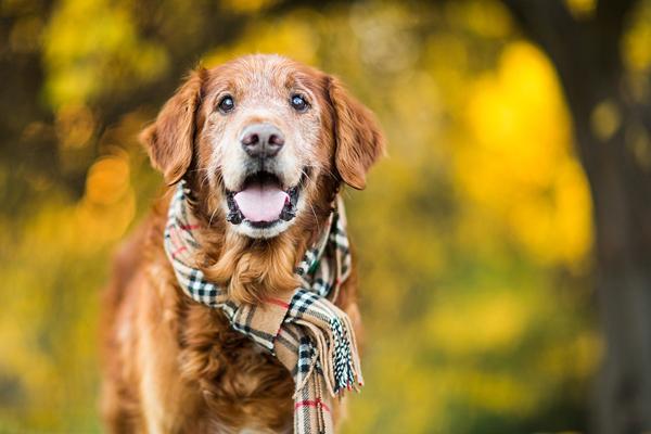 © Purple Collar Pet Photography /handsome-senior-Golden-Retriever