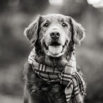 © Purple Collar Pet Photography, Handsome-Retriever