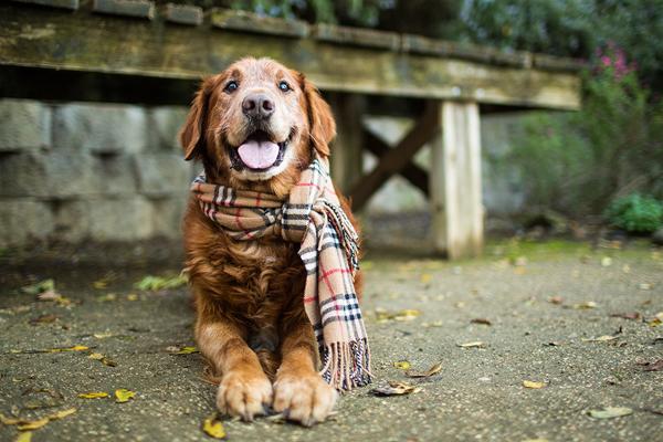 © Anthony Helton, Purple Collar Pet Photography, senior-Golden-Retriever