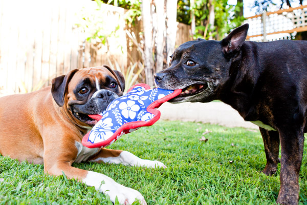 © Charlotte Reeves Photography, Boxer-and-Staffy-bffs