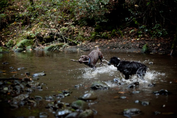 Lab-Aussie-playing-in-water