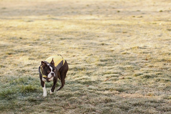 © Katie Nesbitt Photography, Boston-Terrier-wearing-coat