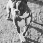 © Katie Nesbitt Photography, Boston-Terrier