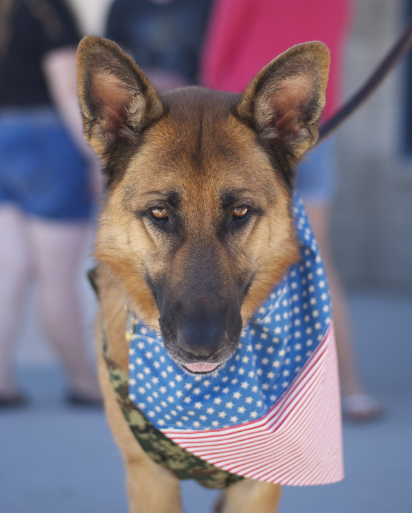 © Kelsey Erin Photography, patriotic-German-Shepherd