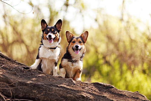 © Purple Collar Pet Photography, Corgis-on-a-log