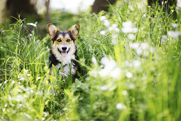 © Purple Collar Pet Photography, handsome-Corgi-in-flowers