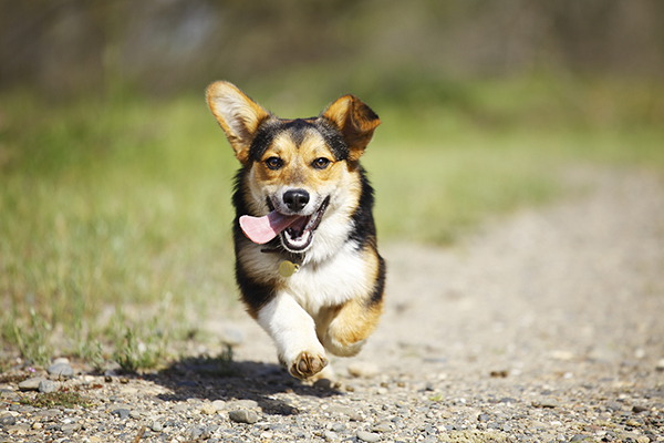 © Purple Collar Pet Photography, Corgi-running