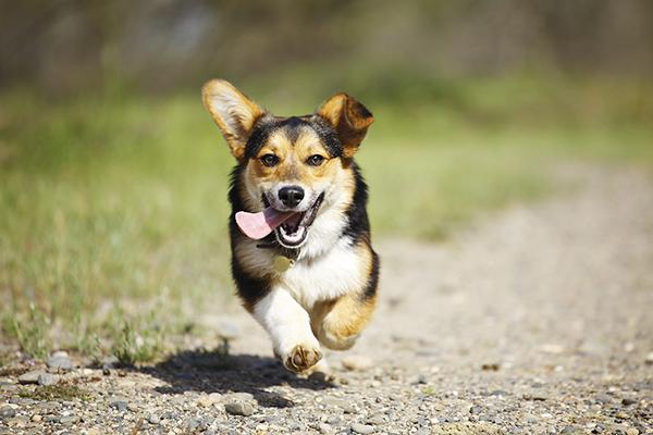 © Purple Collar Pet Photography, Corgi-running