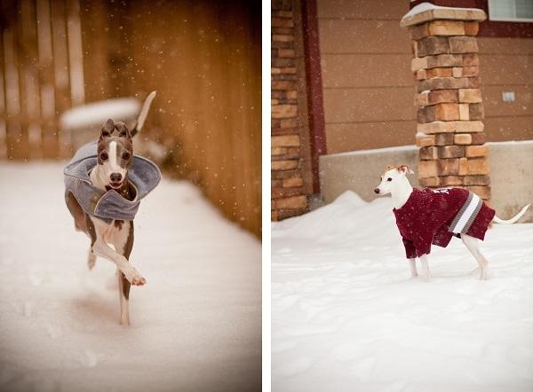 Italian-greyhounds-in-winter-coats, Italian fashion
