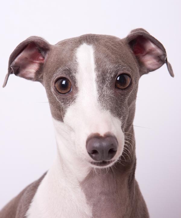 © Sharon Arnoldi Photography, Gray-Italian-greyhound-in-studio