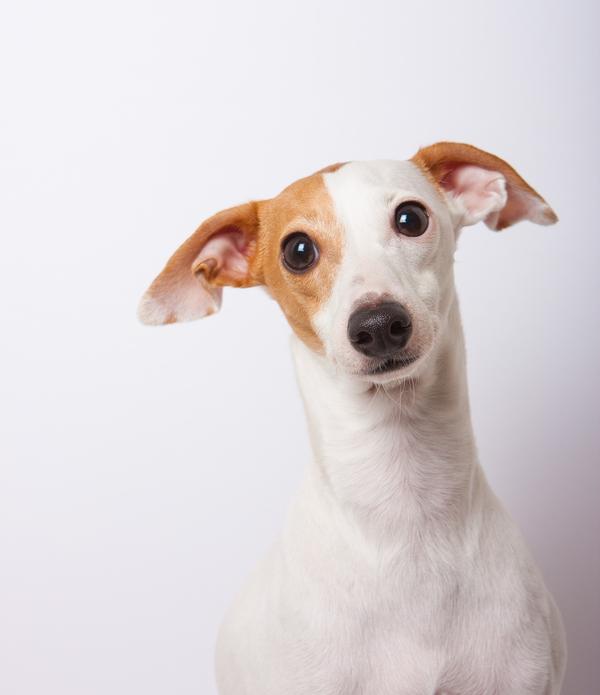 A cute Italian Greyhound posing for a portrait