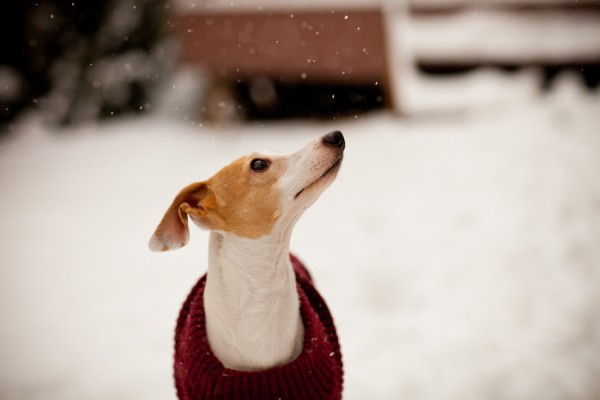 © Sharon Arnoldi Photography, Italian-Greyhound-snow