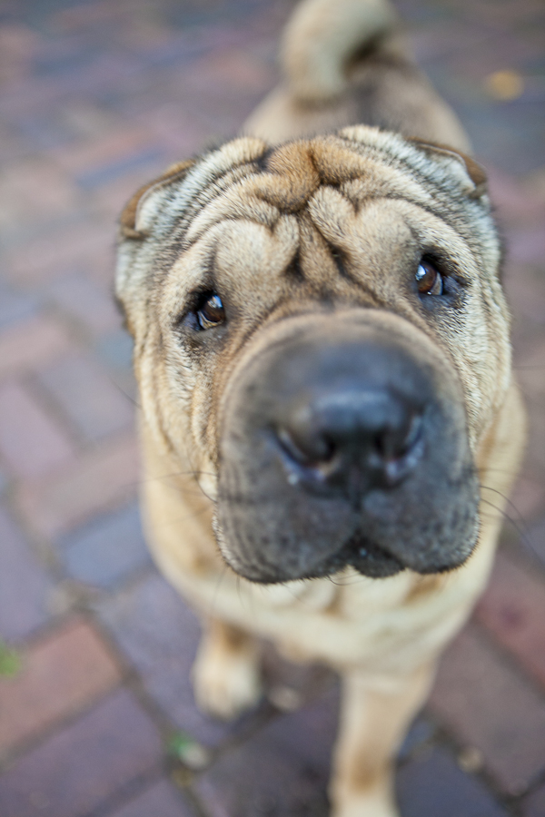© Chocolate Moose Images, expectant-look-Shar-pei