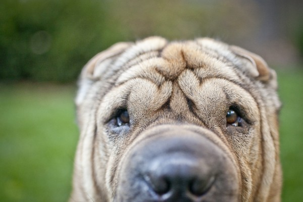 © Chocolate Moose Images  Lucy Lui the Shar-pei