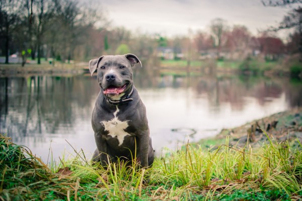 © Stacey Gammon Photography, Pit-Bull-and- pond-Van-Saun-Park