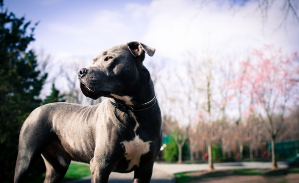 © Stacey Gammon Photography, strong-regal-handsome-pit-bull