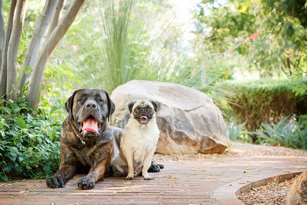 © Kira DeDecker Photography, Mastiff-&-Pug