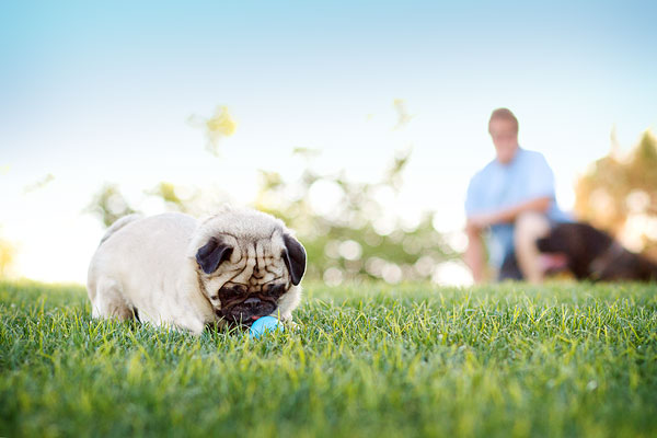 © Kira DeDecker Photography, Pug-playing-with-ball