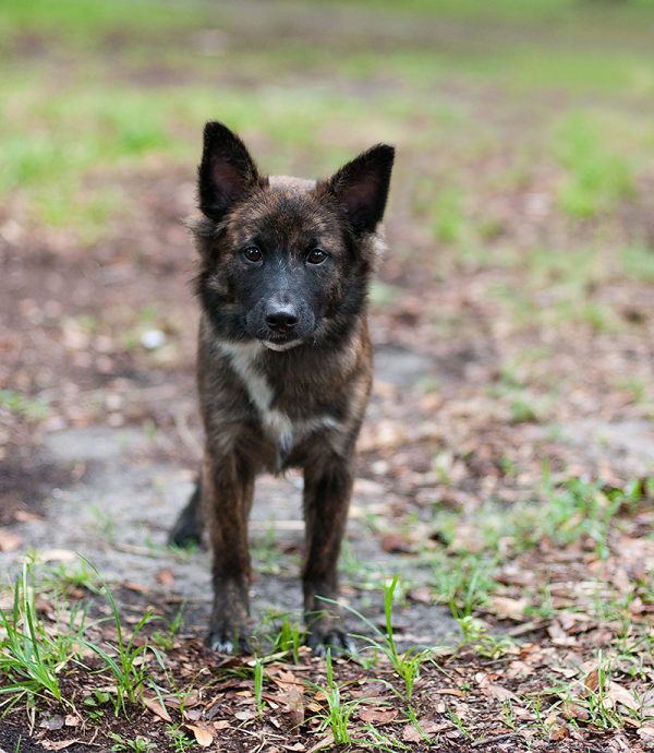 © Emma Grace Photography, Adopt-Astro! , Mini-Aussie-Shepherd-