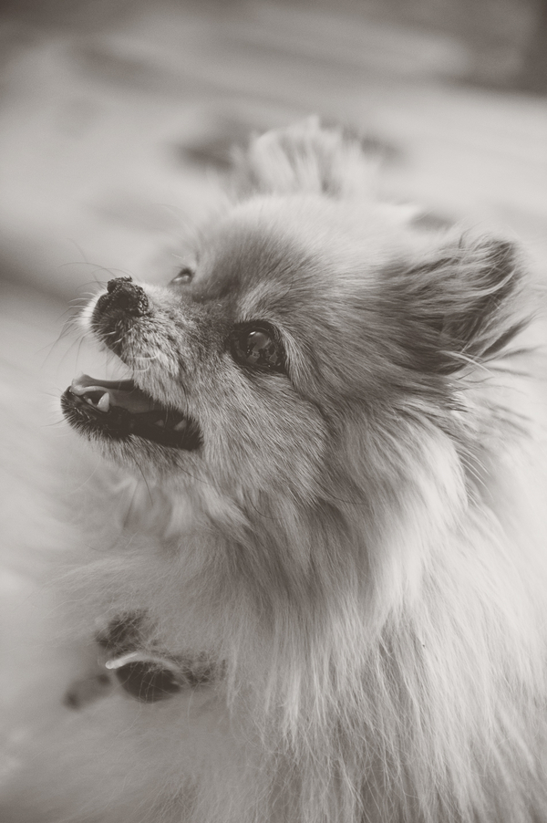 © Ashleigh Miller Photography, black-white-portrait-Pomeranian