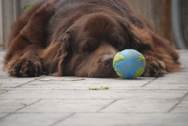 © Jen @ My Brown Newfies,  Brown-Newfoundland-dog-world-ball