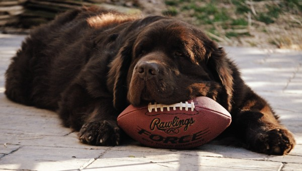 © Jen @ My Brown Newfies, Newfoundland-with-football