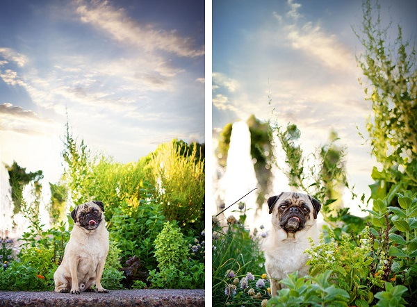 © Kira DeDecker Photography, handsome-Pug