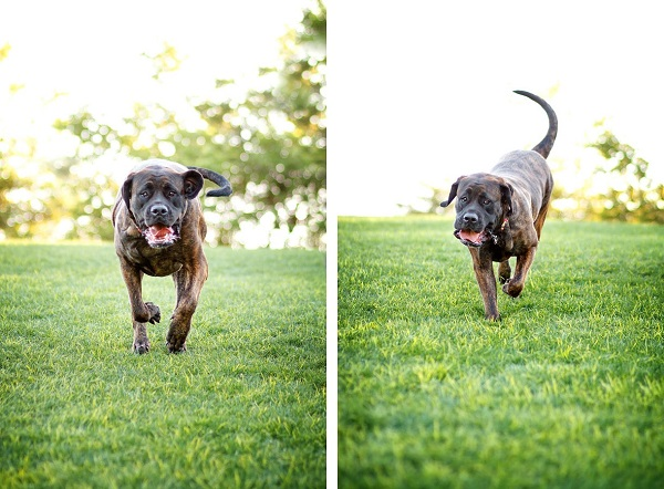 © Kira DeDecker Photography, Mastiff-running