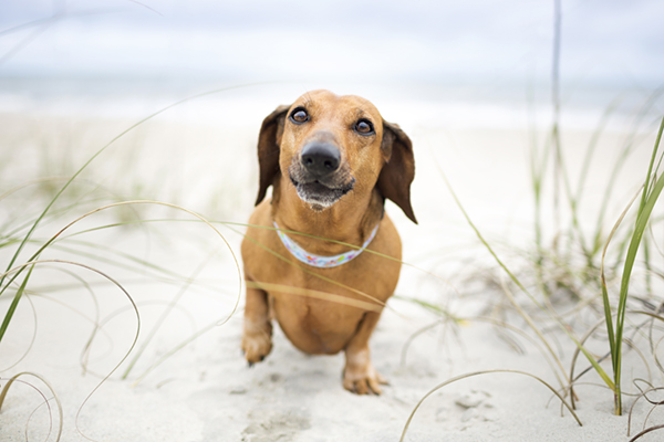 © McGraw Photography,  Dachshund-on-beach