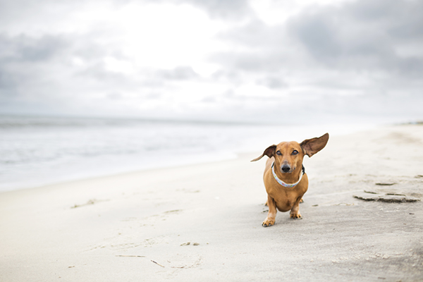 © McGraw Photography, doxie-at-beach