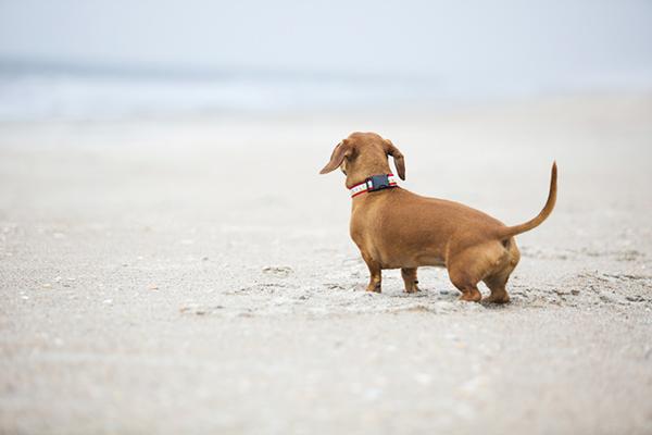 © McGraw Photography, Dachshund-at-beach