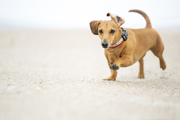 © McGraw Photography, Dachshund-playing-at-beach