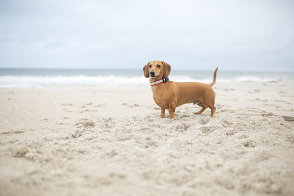 © McGraw Photography, doxie-on-beach